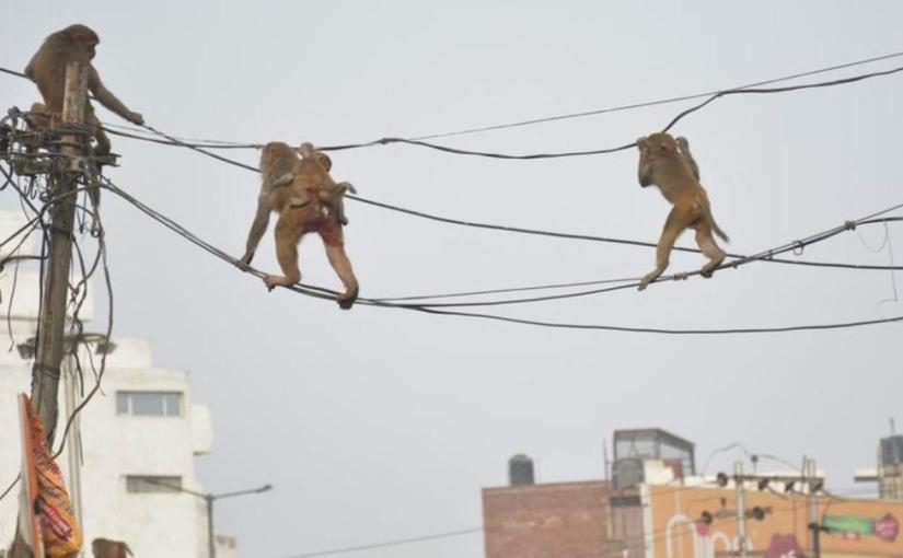 Un gang de singes s'enfuit avec des échantillons de test decoronavirus